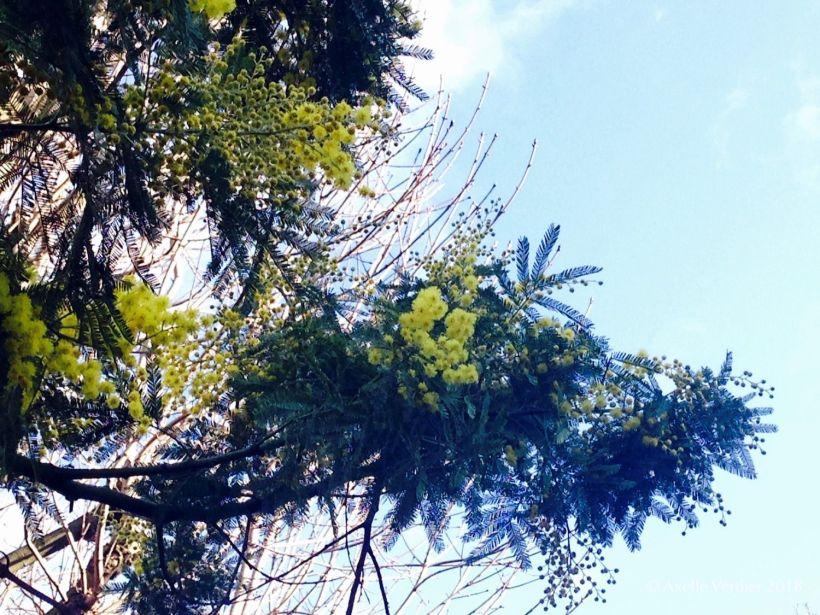 mimosa parisien_AV